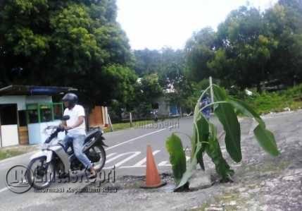 Jalan Berlobang, Warga Ranai Tanam Pohon Pisang
