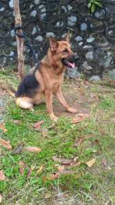 Anjing Pelacak Jenis Herder