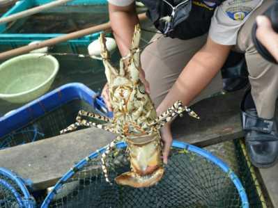 Kementerian Kelautan dan Perikanan melalui Badan Karantina Ikan Pengendalian Mutu Kelas II Tanjungpinang melepasliarkan satu ekor lobster seberat 3 kilogram di kawasan konservasi perikanan perairan Mantang Bintan, Kepulauan Riau (12/1).