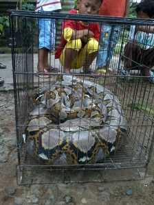 Inilah ular jenis Piton yang ditangkap warga Jalan Pati Unus Kompleks Rumah Dinas TNI AL usai keluar dari sebuah lubang gorong-gorong, Rabu (22/2) pagi.