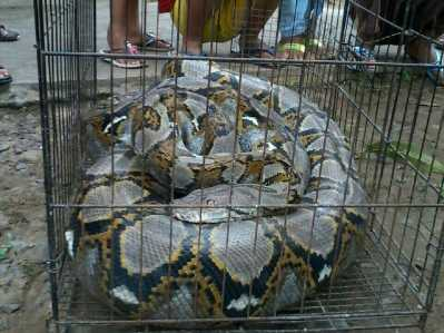 Inilah ular jenis Piton yang ditangkap warga Jalan Pati Unus usai keluar dari sebuah lubang gorong-gorong.