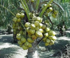 Contoh gambar kelapa hybrida.