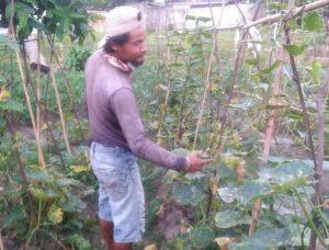 Solihin saat menunjukkan tanaman timunnya yang banyak menua, akibat tidak laku dijual.