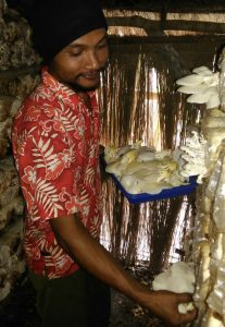 Solihin saat memanen jamur tiram hasil produksinya.