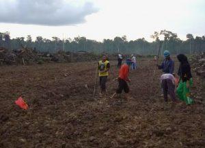Penanaman padi perdana di Desa Semedang Kecamatan Bunguran Batubi, dengan cara ditugal.