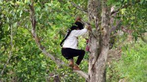 Salah seorang warga sedang memanjat pohon cengkeh.