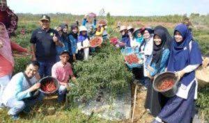 Pertanian cabai merah di Kecamatan Bunguran Batubi.